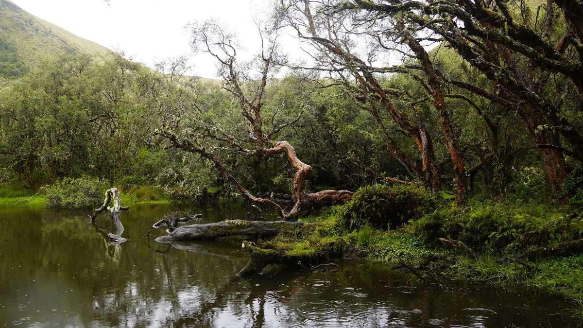 Ecuador Polylepis