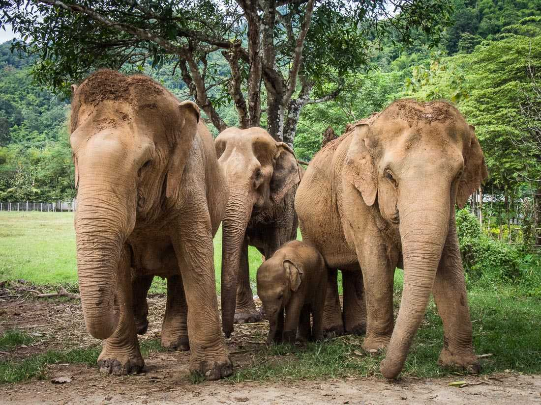 Laws for elephant protection in Thailand, Elephants in Thailand