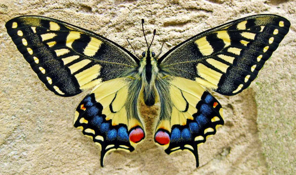 Swallowtail Butterfly, Flora and Fauna of Bhutan