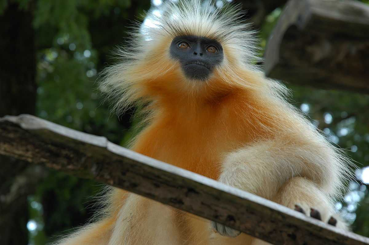 Golden Langur, Flora and Fauna of Bhutan