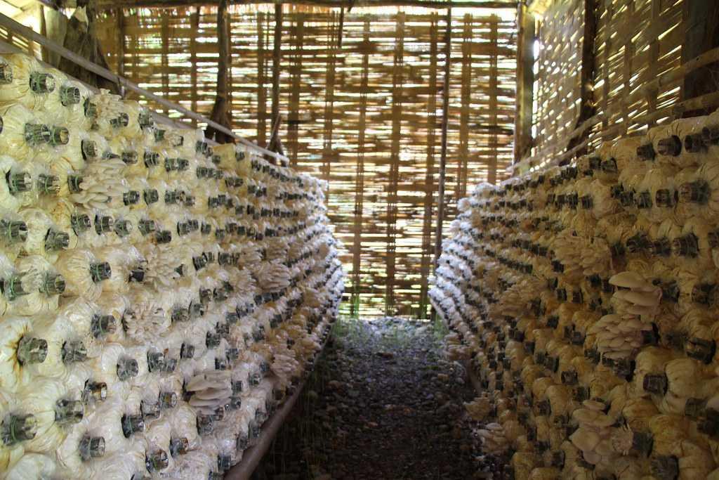 Mushroom Farms, Gohtong Jaya