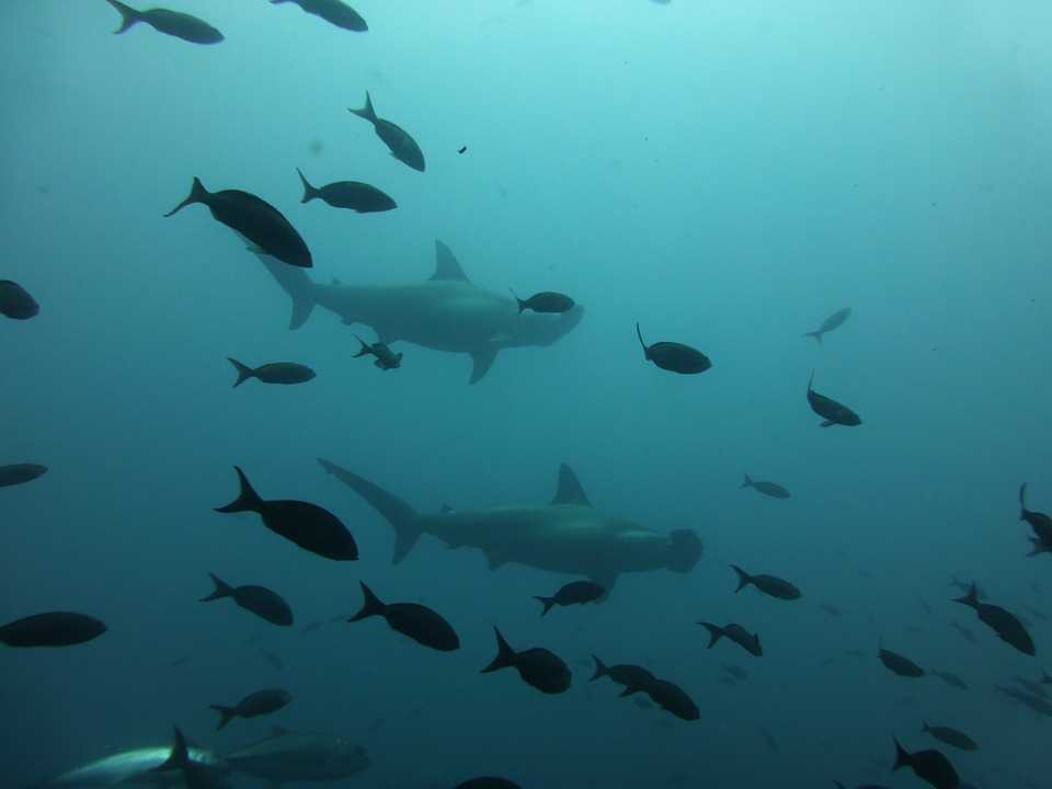 Diving with hammerhead sharks, maldives