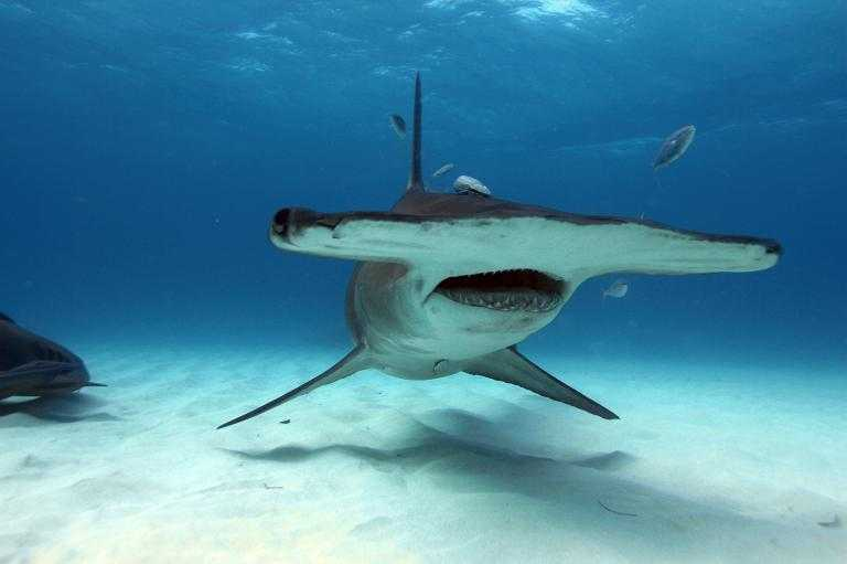 Hammerhead shark, Wildlife in Seyccchelles