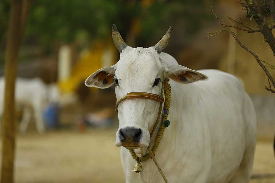 Indian cow, facts about india