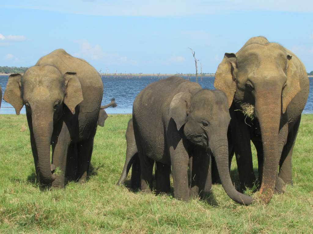 Elephants at the Kaudulla National Park