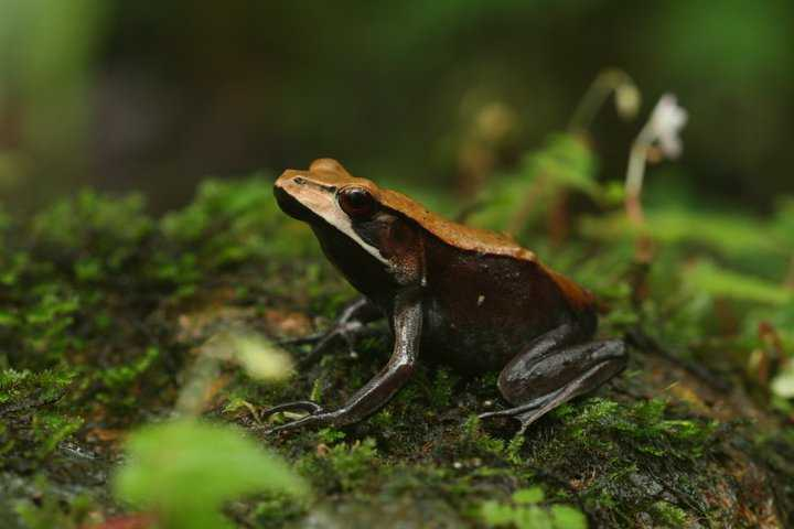 Bicolour frog in Coorg