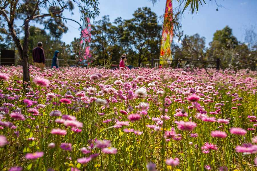 Wildflowers at Kings Park Festival Perth
