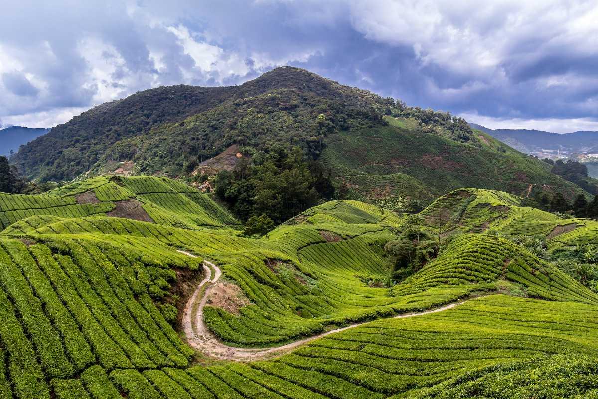 Tea Plantations at Cameron Highlands