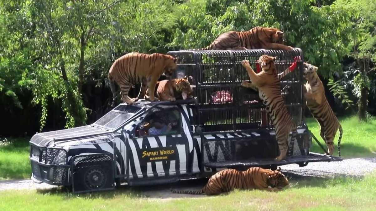 Tigers Feeding at Safari World Bangkok