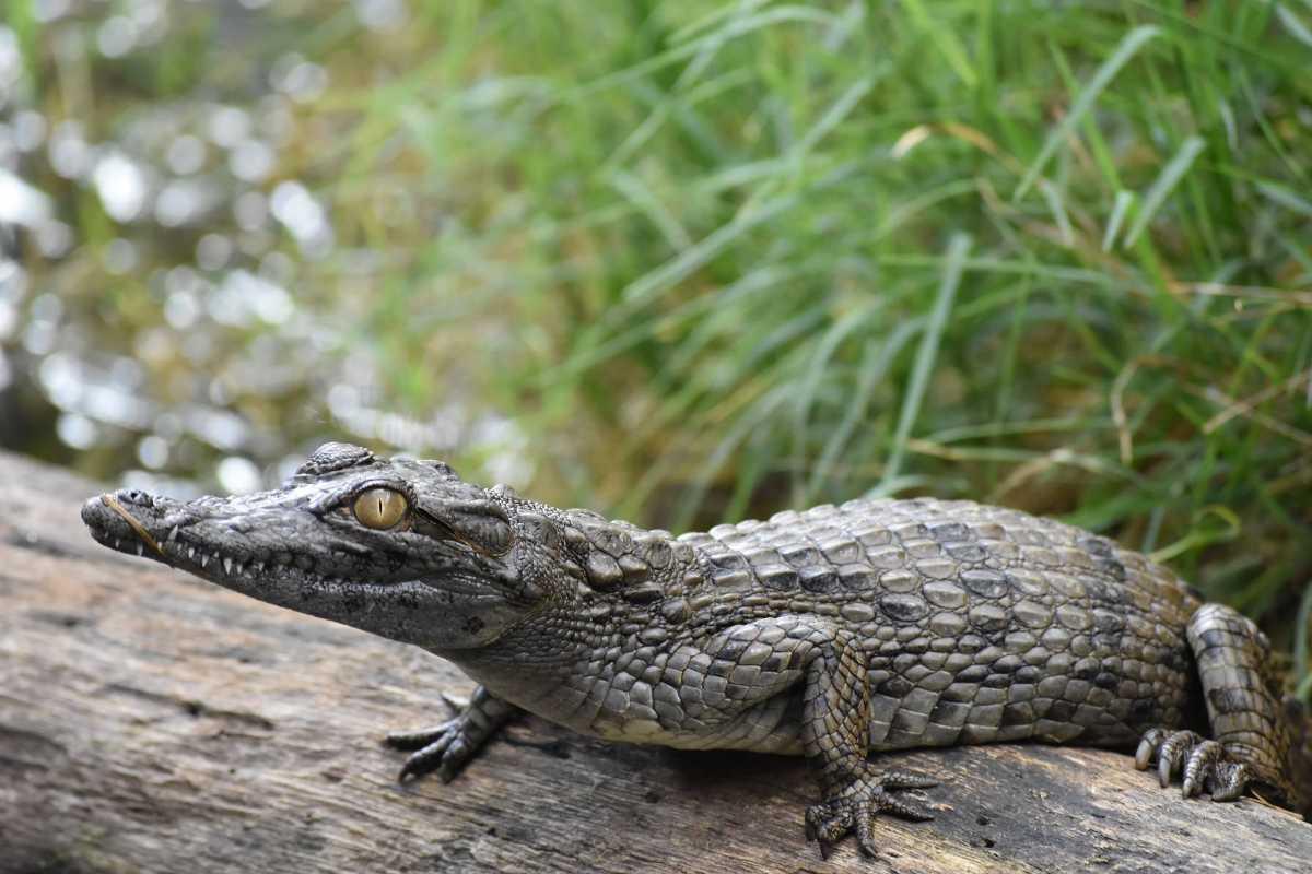Baby Crocodile at La Vanille Nature Park