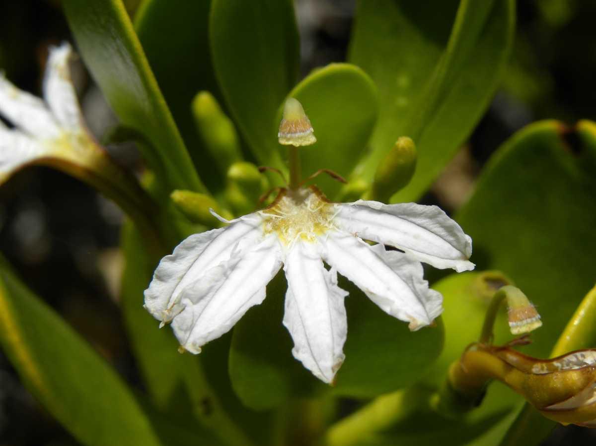 Fan Flower in Maldives