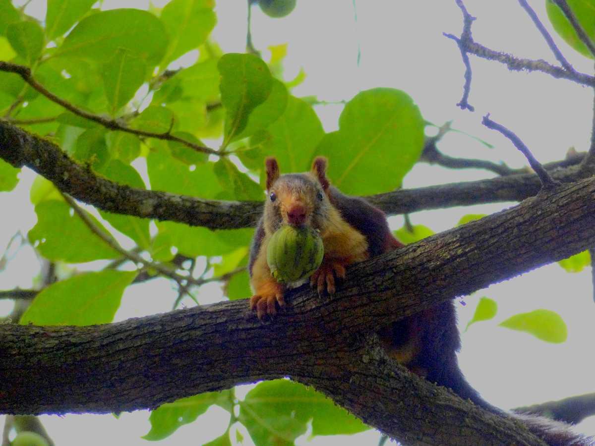 Anshi Giant Squirrel
