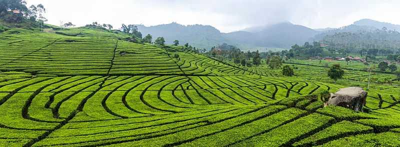 Panoramic View of Bois Cheri Tea Plantation
