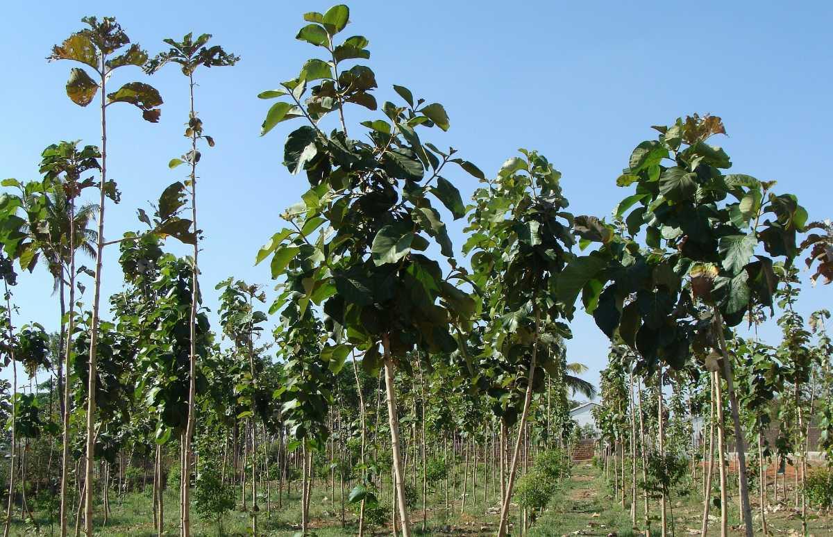 Teak Plantation of Tectona Grandis