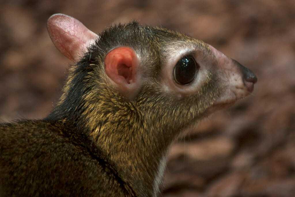 Lesser Mousedeer, Wildlife of Singapore