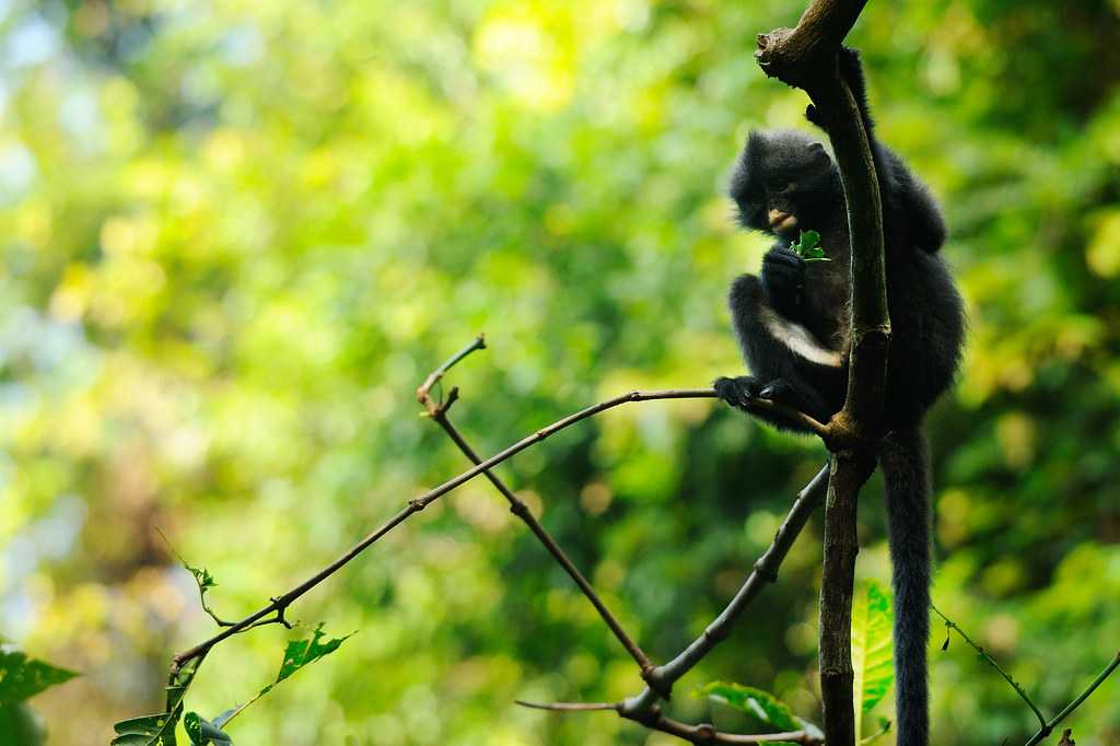 Banded Langur, Wildlife in Singapore
