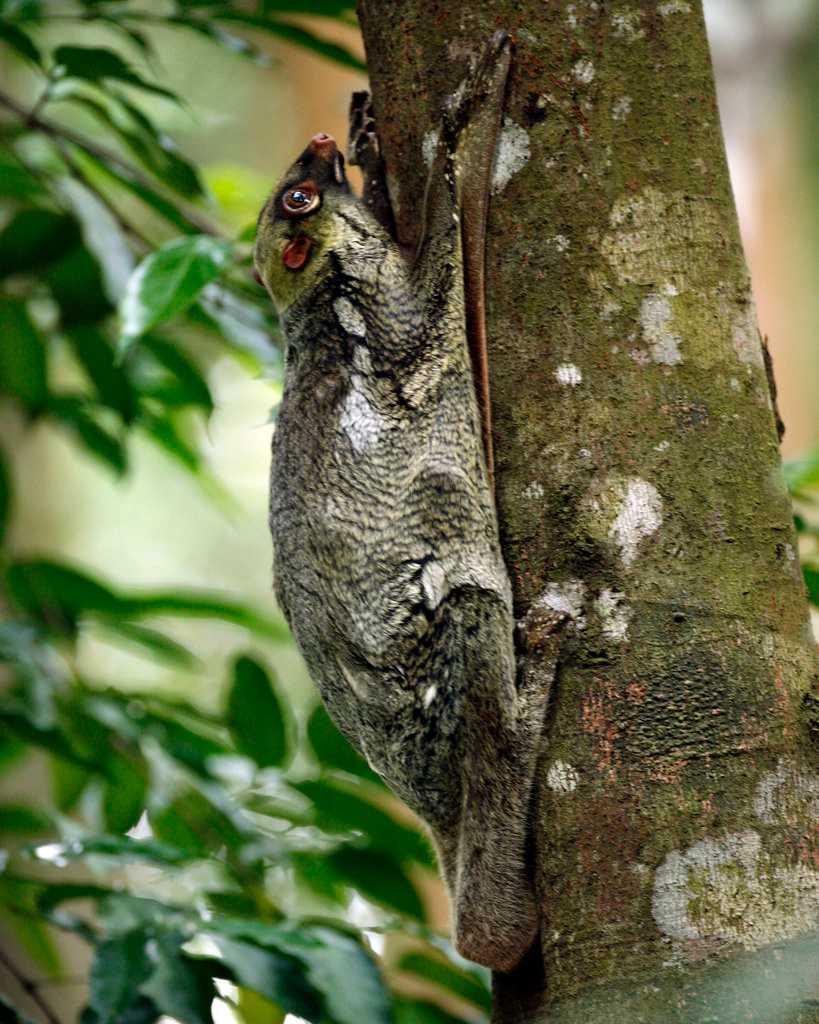 Flying Lemurs, Wildlife in Singapre