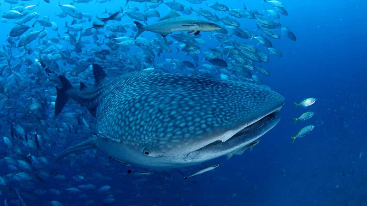 About Whale Sharks, Whale Sharks In Thailand