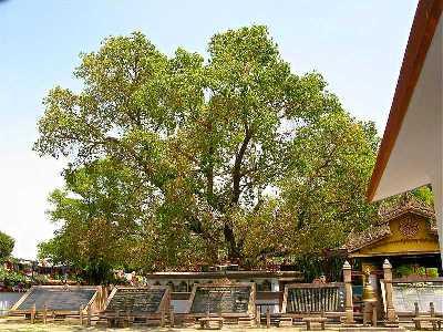 Bodhi Tree, Bodh Gaya